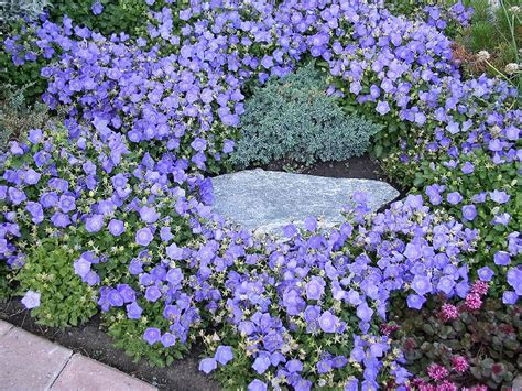 Bell Gardens High by Plants Amp Flowers 187 Trailing Campanula