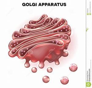 Golgi Complex Stock Vector - Image: 63062440