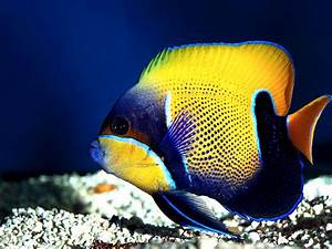 Colorful fish - Tropical Fish/Underwater Sea Life Picture