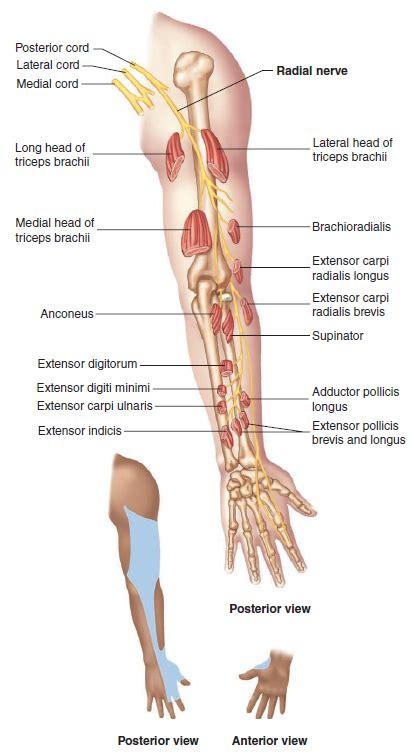 Elbow Anatomy - MKS
