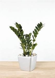 Zimmerpflanzen Für Dunkle Ecken : pflegeleichte zimmerpflanzen die zamie bringt gl ck ins ~ Michelbontemps.com Haus und Dekorationen