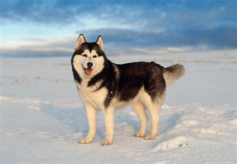 Siberian Husky Standing In Snow