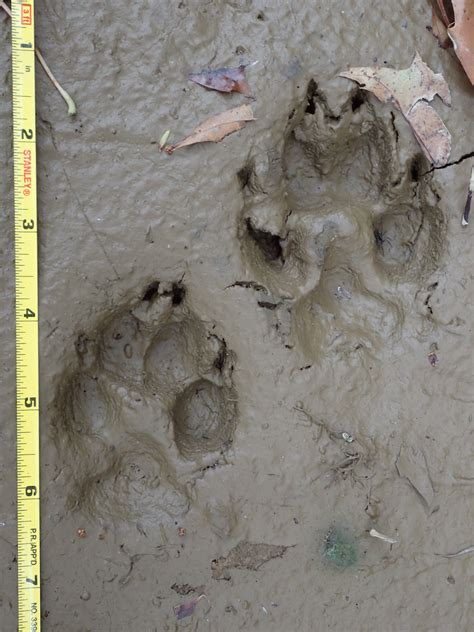 Bobcat and Coyote Tracks