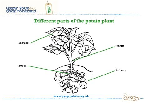Growing Potatoes Needs A Title  Learning About Potatoes  Ppt Download