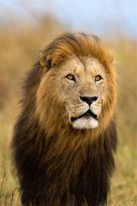 heres   hunters  pay  shoot  perfect lion
