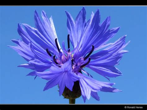 blaue blumen frühling blaue blumen blaue bl 252 ten blumenfotos bl 252 tenfotos blumenbilder
