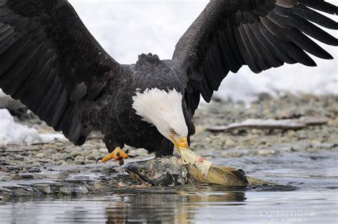bald eagle photo workshop alaska bald eagles photo