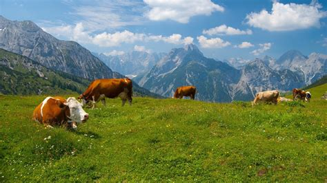 Cow Wallpapers Images Photos Pictures Backgrounds