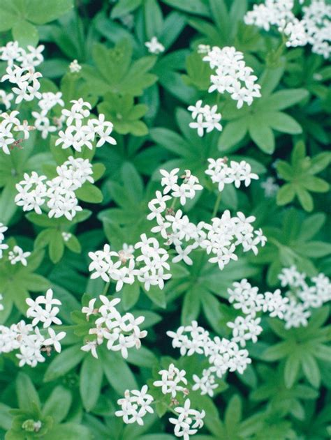 ground cover with white flowers pin by jennifer martin on spring blooms pinterest