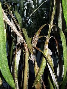 Oleander Hat Gelbe Blätter : oleander krankheiten krankheiten und sch dlinge an ~ Lizthompson.info Haus und Dekorationen