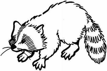Raccoon Coloring Pages Animals Wildlife Printable Drawings
