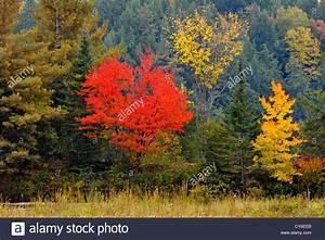 Roter Ahorn Baum : ein roter ahorn baum in herbstf rbung unter fichte und ~ Michelbontemps.com Haus und Dekorationen