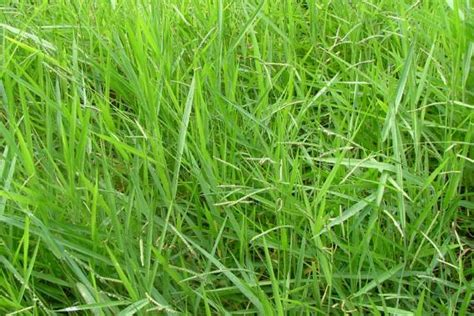 signal grass weed identification brisbane city council