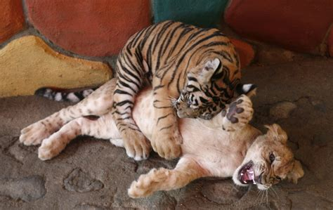 tiger lion baby cub zoo bengal cuddle month tigre tigers wolves three imgur plays bears filhotes dead snuggling wants vallarta