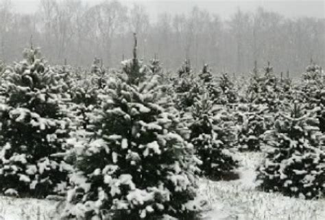 tree farms in south jersey cut your own tree farms in new jersey poppins things to do in new jersey