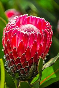 A Guide To Growing Proteas