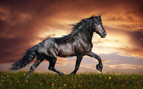amazing powerful black horse hd animals  birds