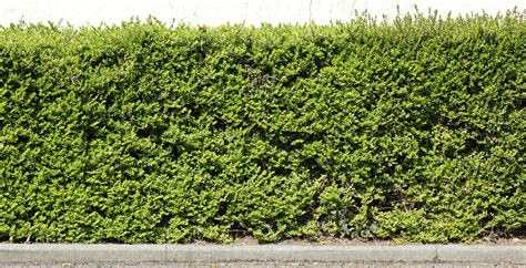 hedges  background texture hedge leaves green