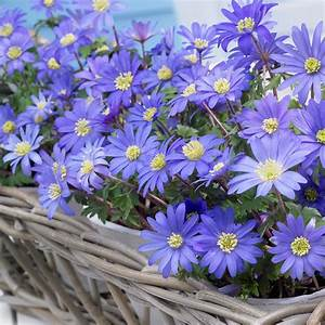 Van Zyverden Wind Flowers Bulbs Anemone Blue Shades Set