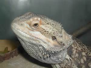 Bearded Dragon Lizards as Pets