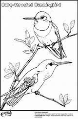 Hummingbird Coloring Pages Birds Drawing Bird Hummingbirds Flowers Flower Drawings Throated Ruby Printable Venezuela Adult Step Trinidad Colors Tobago Animals sketch template