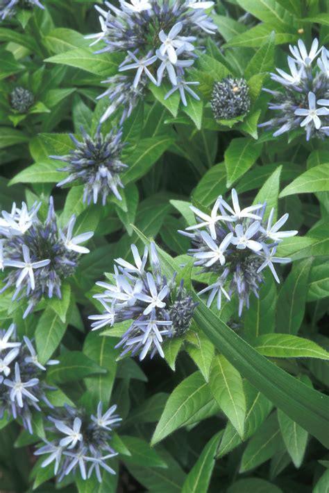 amsonia tabernaemontana eastern bluestar  botany
