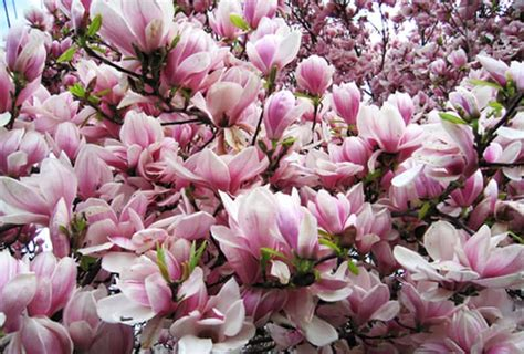 where to plant magnolia tree diy how to grow your own magnolia tree