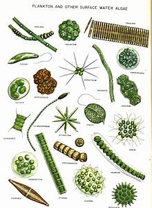 COMMON ALGAE DRAWINGS