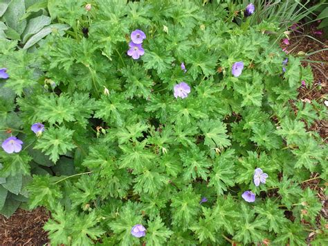 hardy geranium how to grow hardy geranium growing and caring for hardy