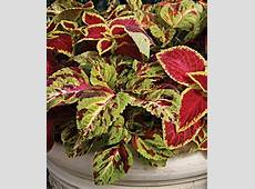 Wizard Mixed Colors Coleus Seeds and Plants, Annual Flower