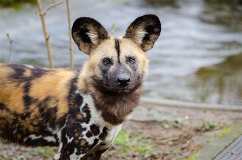 african wild dogs    heat face extinction