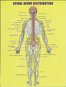 All About The Spinal Cord  Spinal Nerve Distribution Chart Vertebral Subluxation And Spinal