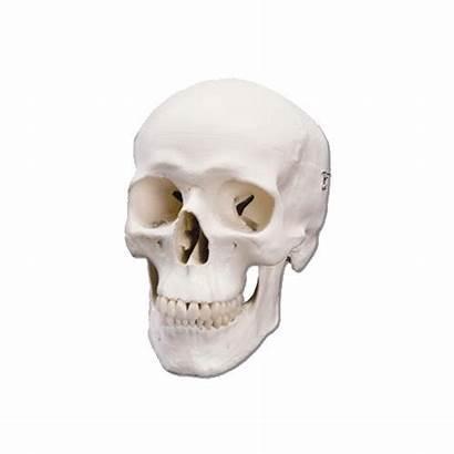 Human Skull Metal Artwork Any There Head