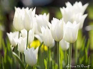 Tulpen Im Garten : wei e tulpen leuchten im garten blumenbild des tages ~ A.2002-acura-tl-radio.info Haus und Dekorationen