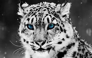 Fondos de pantalla de tigres blancos - Imagui
