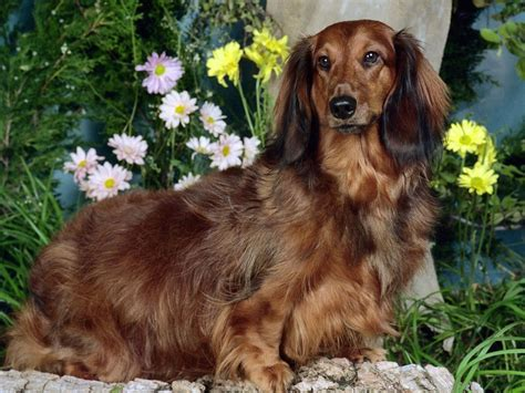 Haired Datsun by Dachshund My Rocks