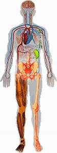 Image Result For Full Human Body Diagram Unlabeled