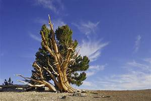 Information world: Oldest Trees of the World
