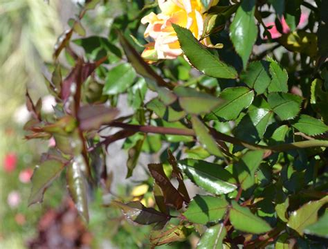how to plant roses how to grow roses from cuttings