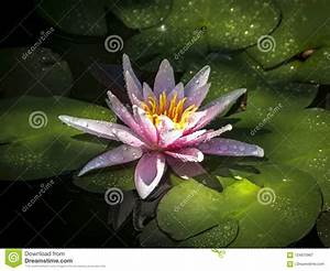 The Nymphaea And Leaves Of The Water Lily Are Covered With