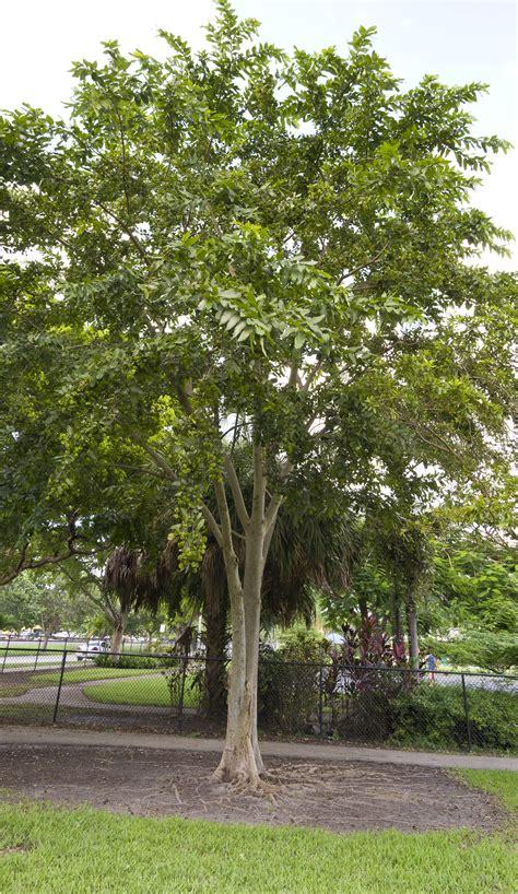 Tree Of Images Terminalia Arjuna Images Useful Tropical Plants