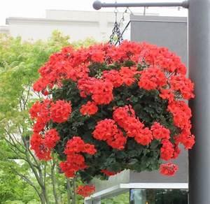 Plantes Et Fleurs Pour Balcon : fleurs retombantes pour vasques ~ Premium-room.com Idées de Décoration