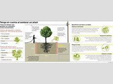 Infografía Tenga en cuenta al sembrar un árbol El Heraldo
