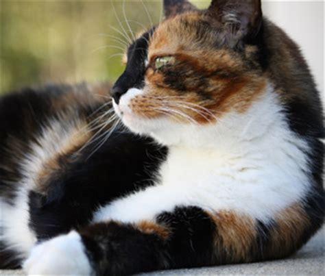 calico cat personality scarletclan the scarlet lives on sign up thread