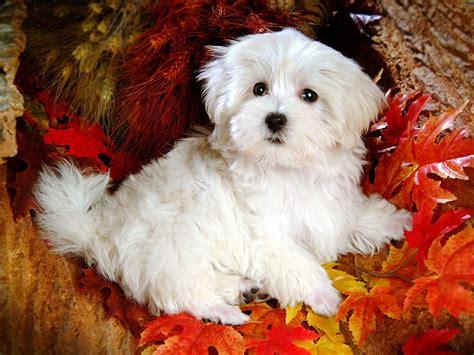 white cute dog hd wallpaper wallpaperscom