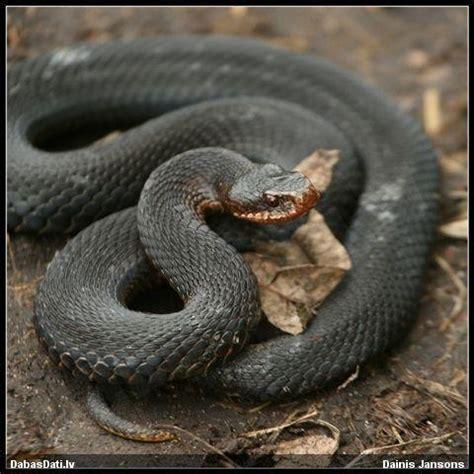 Mums savvaļā dzīvo tikai divas čūskas - odze un zalktis ...