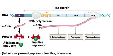 lac operon assignment point