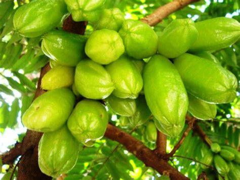 belimbing wuluh ciri ciri tanaman khasiat dan manfaatnya