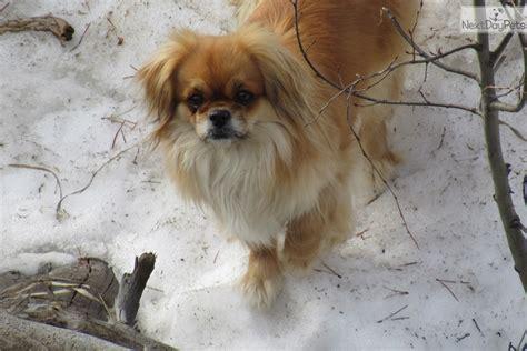 lacey tibetan spaniel puppy  sale  high rockies
