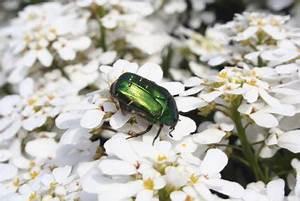 Käfer Im Garten : anleitungen im bereich garten zum thema k fer ~ Lizthompson.info Haus und Dekorationen